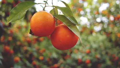 orangenfoto